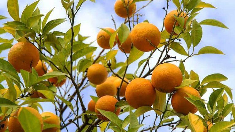 gorzka pomarancza 01