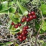 sarsaparilla