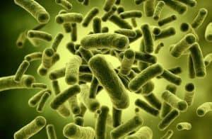 Probioottiset bakteerit