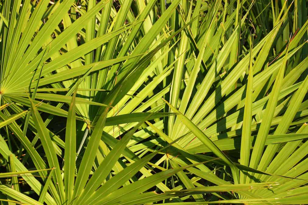 Palmier de Sabal