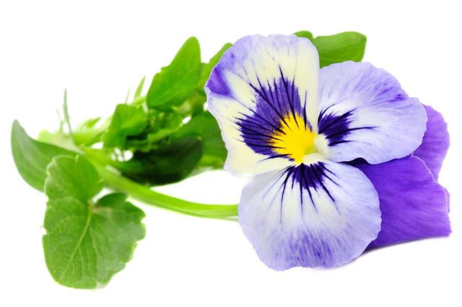 Viola tricolor