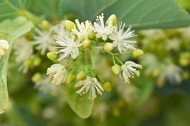 Lime blossom