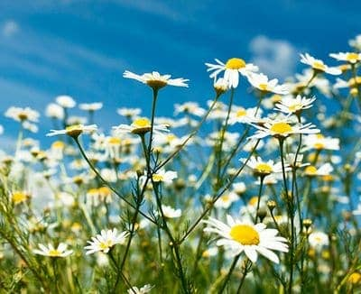 camomile in the meadow