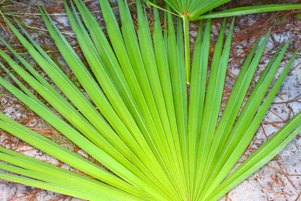 Sabal palm saw palmetto